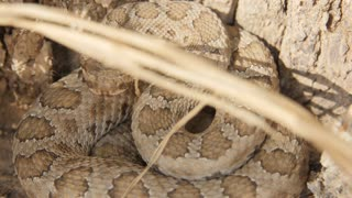 Utah Great Basin rattlesnake coiled up by a tree