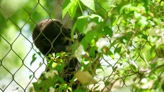 A Baby Gorilla Climbs The Fence To Grab Leafs For Food At The Zoo