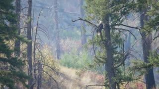 A Beautiful Bald Eagle In Tree Over A River Through Smoke From A Fire