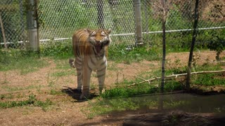 A Beautiful Large Siberian Tiger Behind Glass Cage At The Zoo