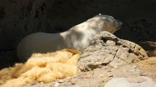A Beautiful Large White Polar Bear Sleeping At A Zoo