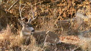 A big mule deer buck resting in tall grass in a cool morning
