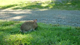 A Cute Wild Rabbit Eating Grass In The Morning