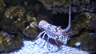 A Large Tropical Lobster Under The Ocean Water