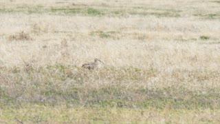 A Long Billed Curlew Bird Walking Through The Grass