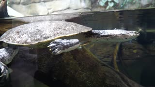 A Turtle Swimming Calmly Through The Water