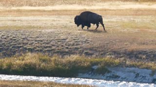 A Wild Bison Roams By Geyers At Sunset In Yellowstone At Old Faithful