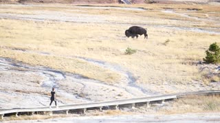 A Wild Bison Roams By People At Sunset In Yellowstone At Old Faithful