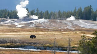 A Wild Buffalo Roaming By Geyers At Sunset In Yellowstone At Old Faithful