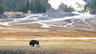 A Wild Buffalo Roams By Geyers At Sunset In Yellowstone At Old Faithful