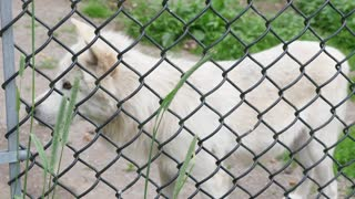 An Arctic Wolf In Wildlife Conservation Park