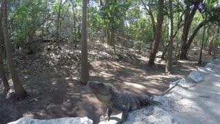 An Iguana Rests In The Sun On Mayan Ruins Near Cancun Mexico