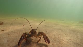 An Underwater Close Up Shot Of A Large Ocean Lobster Walking Along The Sand