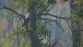 Beautiful Bald Eagle In A Tree Over A River Through Smoke From A Fire