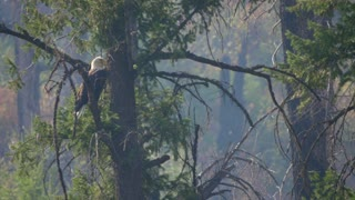 Beautiful Bald Eagle In A Tree Over A River Through Smoke From The Fire