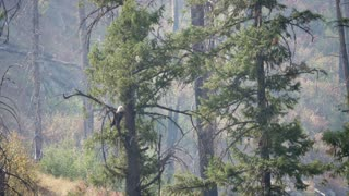 Beautiful Bald Eagle In Tree Over A River Through Smoke From A Fire