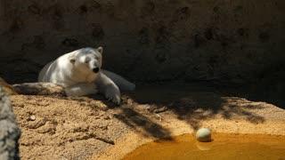 Beautiful Large White Polar Bear Sleeping At A Zoo