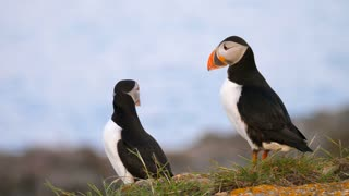 Beautiful Puffins On An Island In Newfoundland