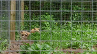 Beautiful Red Fox Sleeping At A Wildlife Conservation