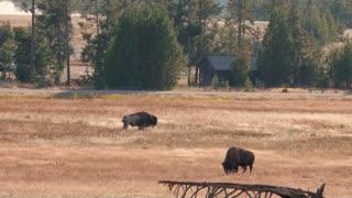 Bison Graze In Golden Fields In Yellowstone National Park