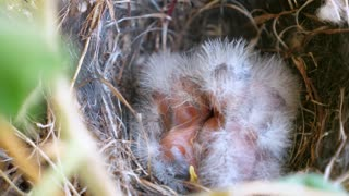 Brand New Baby Birds Resting In The Nest