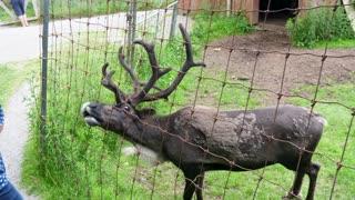 Caribou Reindeer In Wildlife Conservation Park