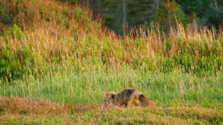 Cool Shot Of A Red Fox Pouncing On Mice In Field During Sunset