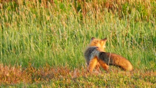 Cool Shot Of A Wild Red Fox Hunting In Field During Sunset