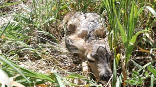 Cute Newborn Baby Deer Hiding In Tall Grass Of The Field