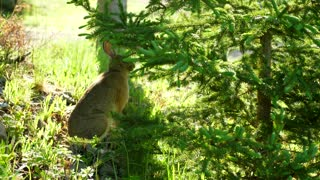 Cute Wild Rabbit Eating Pine Branches In The Morning