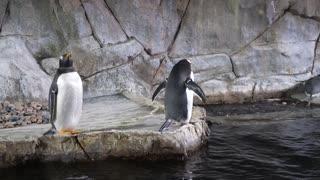 Gentoo Penguin Standing In Aquarium Tank