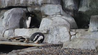 Gentoo Penguins Standing In Aquarium Tank