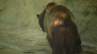Grizzly Bears Walking In Their Cage At A Zoo In The Daytime