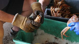 Hands Prepare Freshly Caught Crab On Ice For Dinner