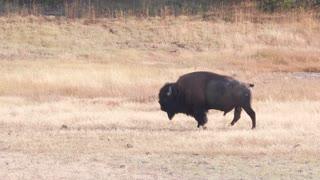 Slow Motion As Wild Buffalo Walking Through Geyser Basin At Yellowstone
