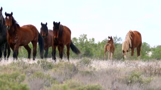 Slow Motion Beautiful Wild Horse Herd At The West Desert In Utah