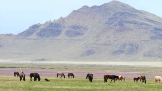Slow Motion Herd Of Strong Wild Horses In The West Desert In Utah