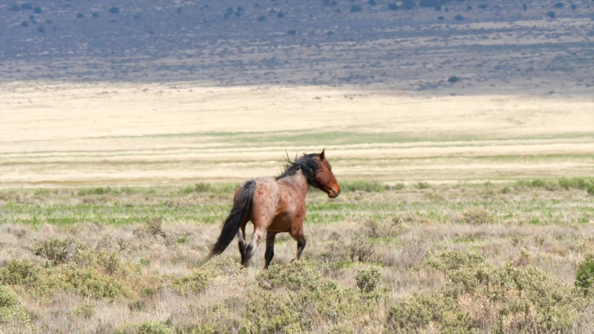 Slow Motion Of A Beautiful Wild Horse Running In The West Desert In Utah Stock Video Footage Storyblocks