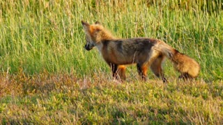 Slow Motion Of A Wild Red Fox Hunting In Field During Sunset