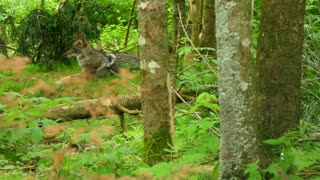 Slow Motion Of A Wolf Sitting In Thick Woods