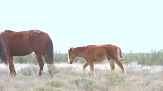 Slow Motion Of Baby Horse And Wild Horses Grazing In The West Desert