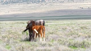 Slow Motion Of Baby Horse In Wild Herd Grazing In The West Desert