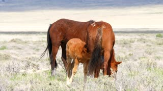 Slow Motion Of Baby Horse Nursing From Mother In The West Desert