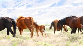 Slow Motion Of Baby Horses And Wild Horses Grazing In The West Desert
