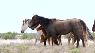 Slow Motion Of Beautiful Wild Horse Herd At The West Desert In Utah