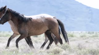 Slow Motion Of Beautiful Wild Horse Running At The West Desert In Utah