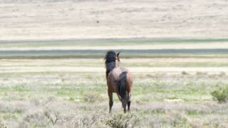 Slow Motion Of Beautiful Wild Horses Running In The West Desert In Dry Utah
