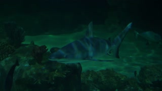 Slow Motion Of Scary Sharks Swimming In Salt Aquarium
