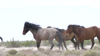 Slow Motion Of Strong Wild Horses Running In The West Desert In Dry Utah