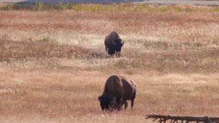 Slow Motion Of The Wild Buffalo Walking Through Geyser Basin At Yellowstone